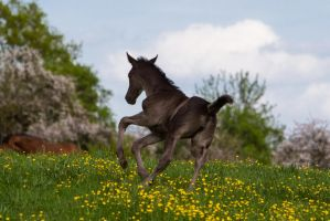 WB Foal Turning Cantering Stock by LuDa-Stock