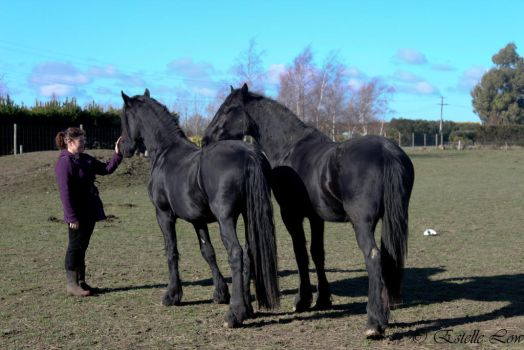 Friesians Standing by Sooty-Bunnie