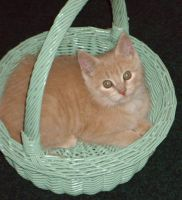 Kitten in a basket, Morris by Buhla