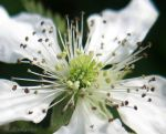 Blackberry Blossom Macro by dragnixcatc