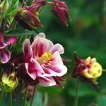 columbine by Wilithin