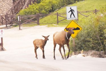 Mama and Baby Elk Walking On the Road by Miss-Tbones