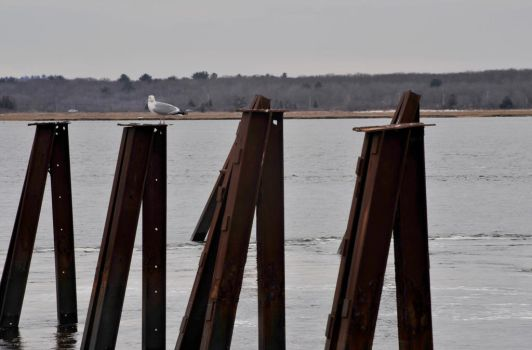 Resting On Pier Pilings In Plum Island, Seagull by Miss-Tbones