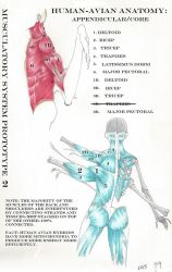 HumanAvian Anatomy: Armsvs.Wings Prototype 2 by MaximWolf