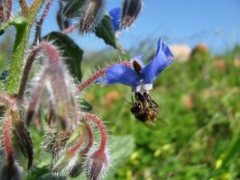 Bee on Borage 3 by dracontes