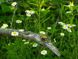 Mossy Log with Wild Daisies by KBeezie