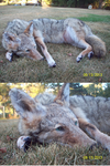 Ickaris, coyote soft mount commission finished by LittleWolfPaw