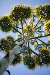 Agave by SimonHS