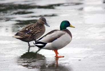 Duck a la ice by Steve-FraserUK