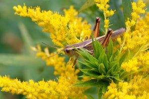Grasshopper by BlackRoomPhoto