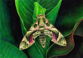 Oleander hawk-moth by youngmoons