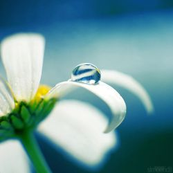 daisy blue. by simoendli