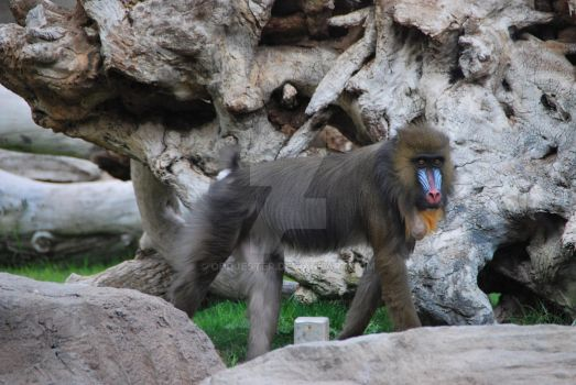 Female Mandrill by oddjester