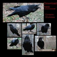 Common Raven Free Stock by 00BlacKBerrY00