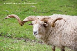 Sheep stock 3 by Colourize-Stock