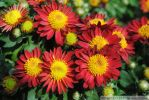 Red and Yellow Mums I by charliemarlowe