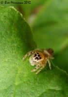 Jumping Spider VI by BreeSpawn