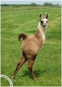 Leo the two legged Llama by HumanDescent