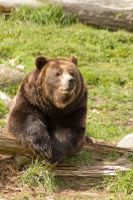 Brown Bear on Log by happeningstock