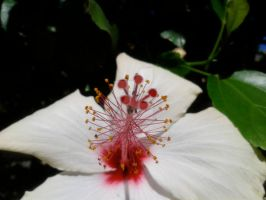 Flower closeup Hibiscus by blackroselover