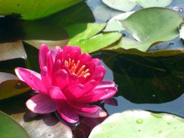 Water lily 1 by Alienesse-Stock