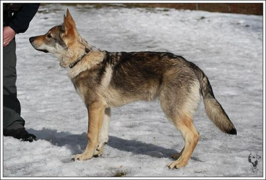 Czech wolfdog - Aschere 6 by Blondlupina