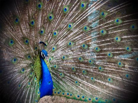 beautifull peacock by 6FM