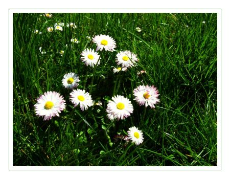 Daisies by kocuria