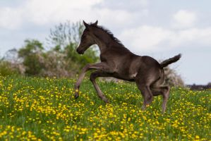 WB Foal Playing Jumping Running Stock by LuDa-Stock