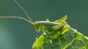 Bush-cricket (Tettigoniidae) by photojrs