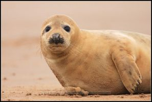 Grey Seal by nitsch