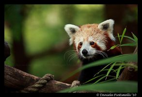 Red Panda II by TVD-Photography