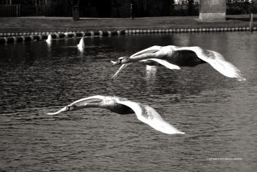 Two Swans by DorianStretton