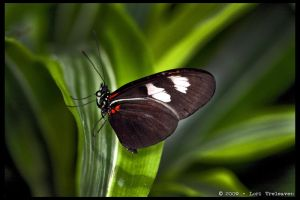 Heliconius Butterfly ?  1 by Vamppy