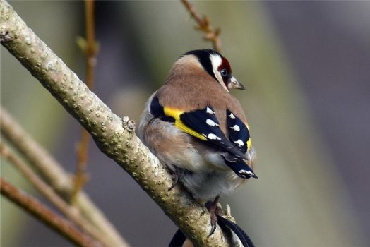 4653 Goldfinch by RealMantis