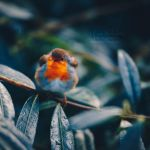 Red Breast. by OliviaMichalski