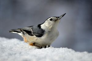White breasted Nuthatch by mozella78