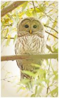 Barred Owl by Ryser915