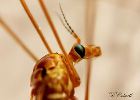 Crane Fly by davecbend