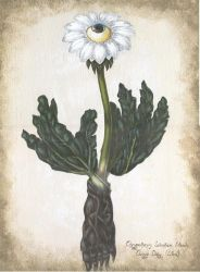 Ox-eye Daisy by pessimistic-orange