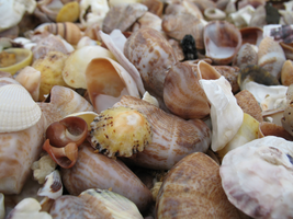 Shells by photographer26