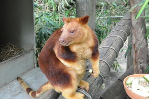 Tree Kangaroo 02 by cyberia-rwc