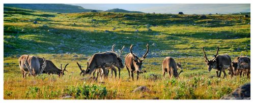 Reindeers by hquer