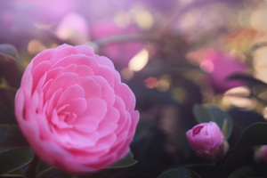 Pink Ranunculus 1 by todaywiththeCJB