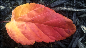 Fiery Autumn Leaf by JenniBeeMine