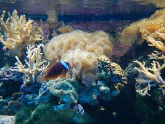 Clown Fish and Coral by ashy-stock
