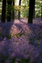 Early Morning Bluebells by emmetts21