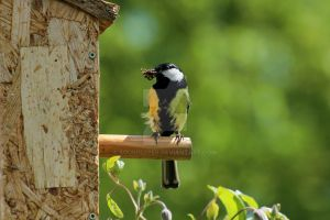Great tit by sourpepper