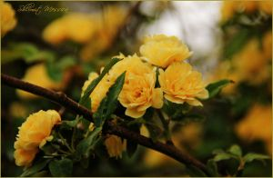 Yellow mini roses 2 by ShlomitMessica