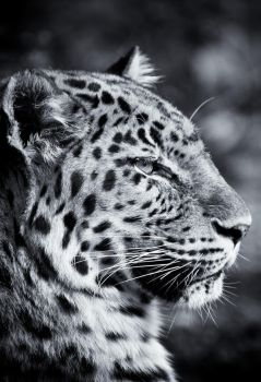 Leopard VII by Schoelli